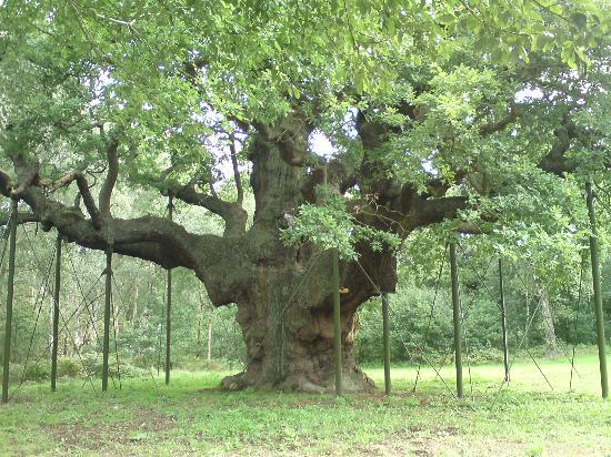 Nottingham, UK : Sherwood Forest Major Oak - legendary home of Rogin Hood