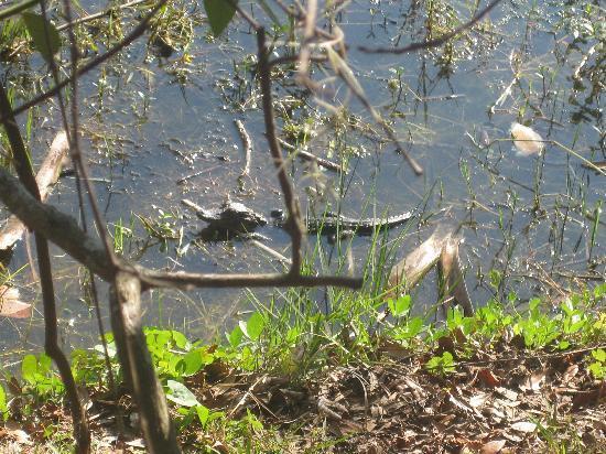 Trimble Park : Gators in the pond
