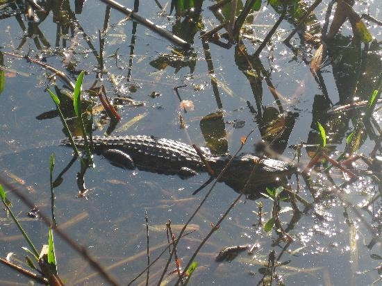 Trimble Park: Gators in the pond