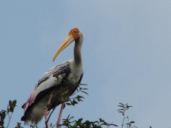 Osmose Ecotours: Painted stork