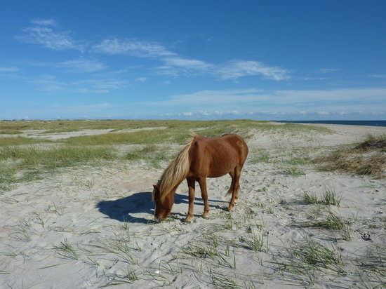 Harkers Island, Carolina del Norte: Pony grazing on sea oats on Shackleford Banks