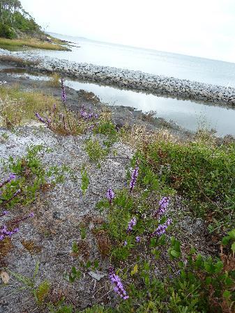 Wild flowers dot the shoreline of Shackleford Banks