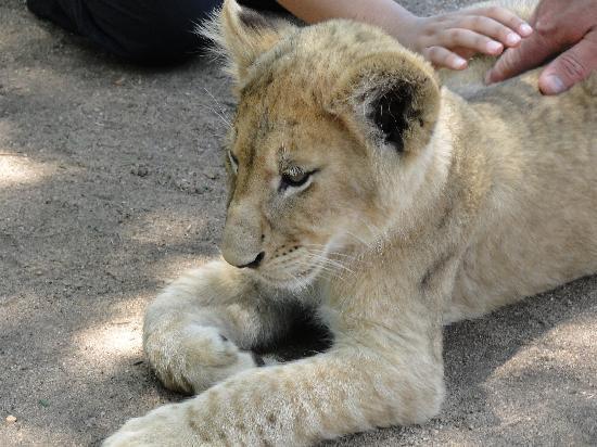 Greater Johannesburg, South Africa: Lion Park