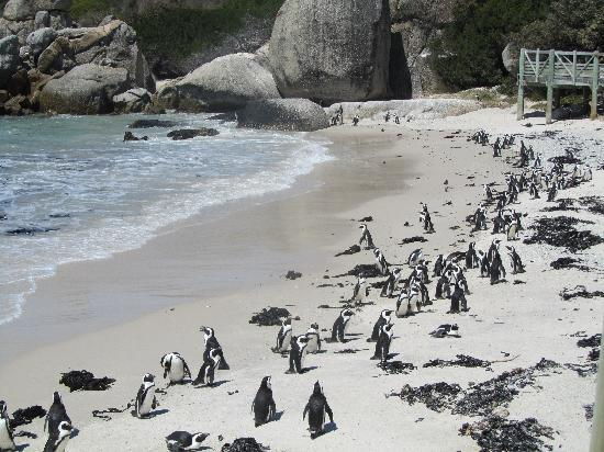 Boulders Beach: Lots of penguins on the beach