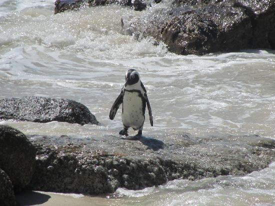 Boulders Beach: Penguin after a swim in the ocean
