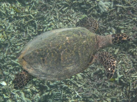 Misool Eco Resort: Schildkröte
