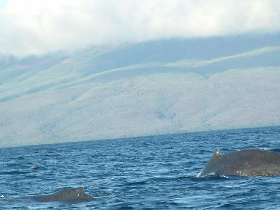 Whales in Maui : mother and baby