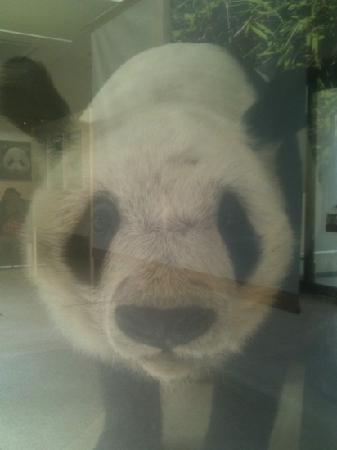 Tokuyama Zoo : パンダの剥製  ガラスごし