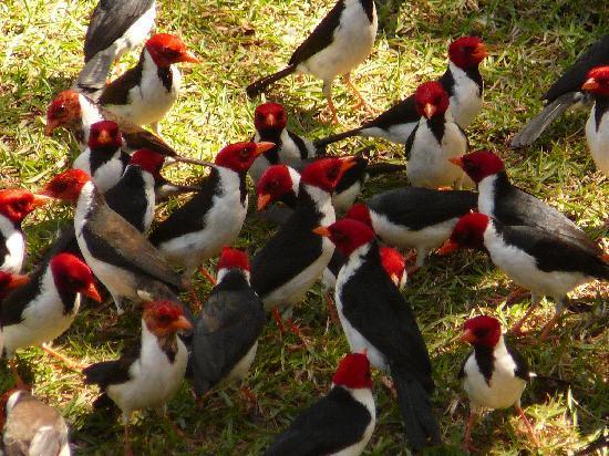 Araras Pantanal Ecolodge: cardinals in the garden