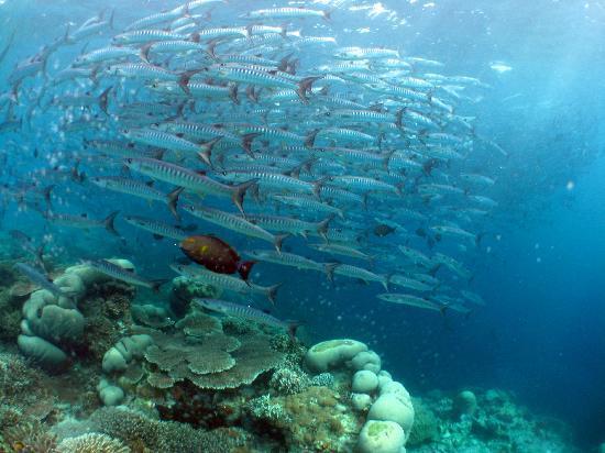 Pulau Mabul, Malasia: ...... Barracuda