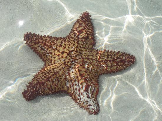 COMO Parrot Cay, Turks and Caicos: stelle marine a decine