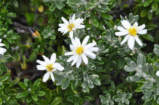 The Singular Patagonia: Patagonian flowers