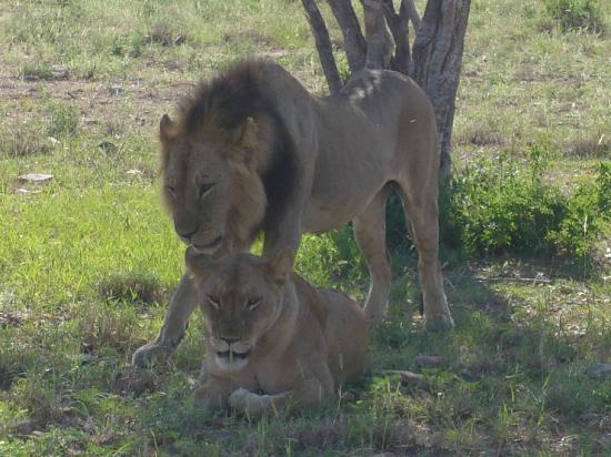 Malindi, เคนยา: leoni molto da vicino