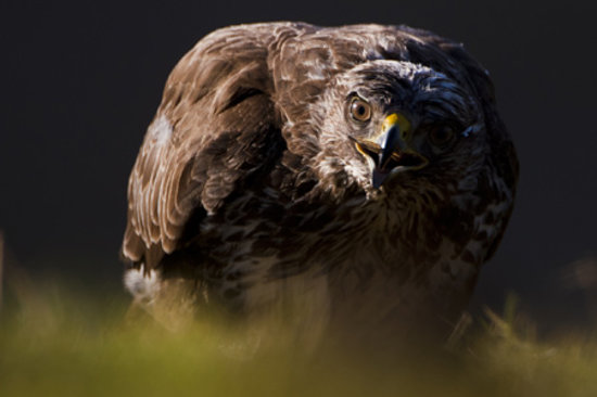 Ardfern, UK: Buzzard taken at Loch Visions by Philip Price