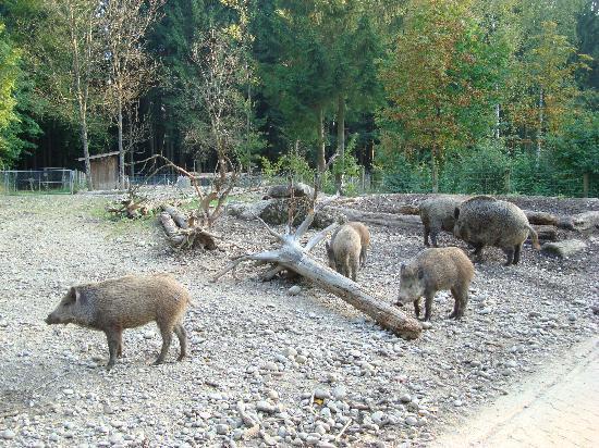 Wildpark Bruderhaus: Wildschweine