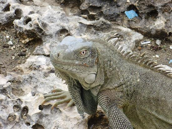 Hamlet Oasis Resort: animals (iguana) at the Hamlet resort
