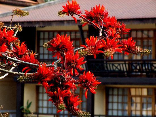 Victoria Angkor Resort & Spa: Beautiful flowering tree in hotel garden