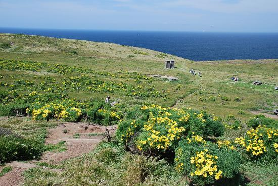 Anacapa Island: Giant coreopsis at the campground