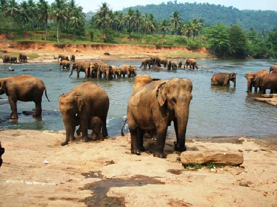 Pinnawala Elephant Orphanage: ぞうの群れ