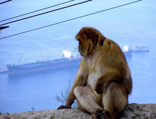Apes Den: Gibraltar monkey enjoying the view