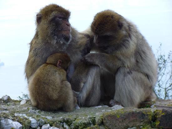 Apes Den: Gibraltar monkeys