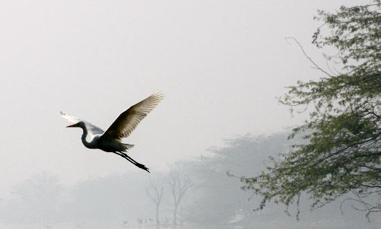Sultanpur National Park Bird Sanctuary: Beautiful Intermediate Egret taking flight