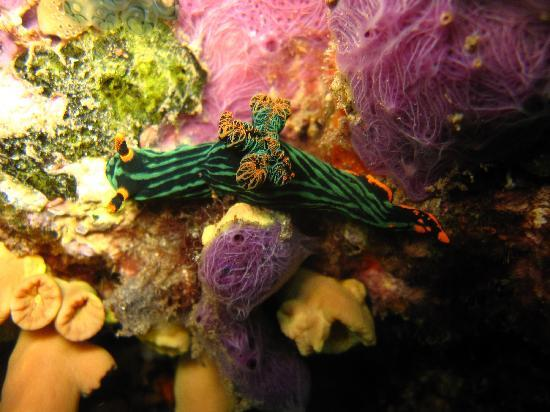 Amed Scuba Tauchzentrum: Nudibranches