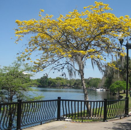 Beautiful flowering tree picture of lake eola park orlando lake eola park beautiful flowering tree mightylinksfo