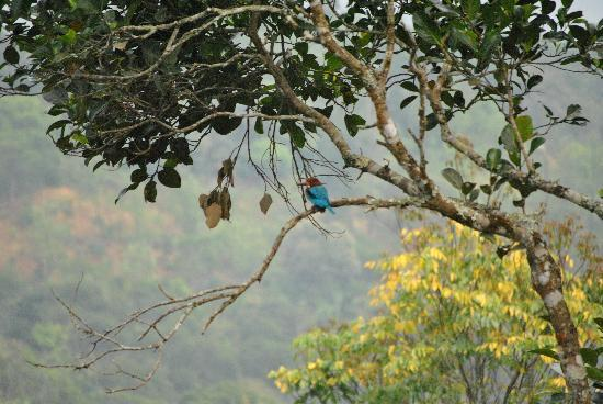 Aanavilasam Luxury Plantation House: Kingfisher over our pool