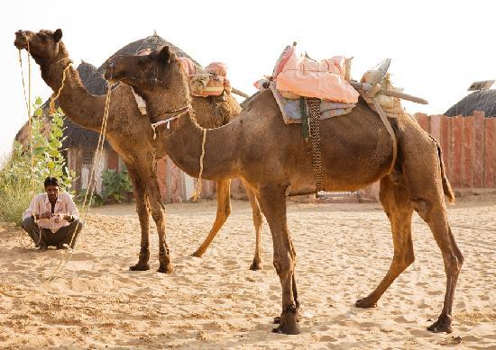 HACRA Dhani: Our camels