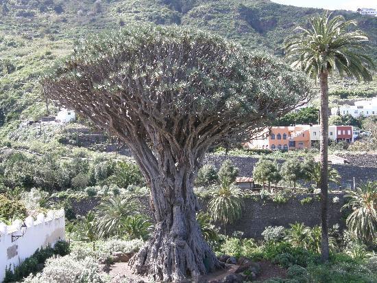 Icod de los Vinos, Spain: Der berühmte Drachenbaum