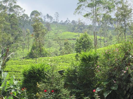 Ceylon Tea Trails: tea plantations on hills