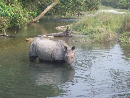 Jalpaiguri, Inde : a relaxed rhinos on ur ways