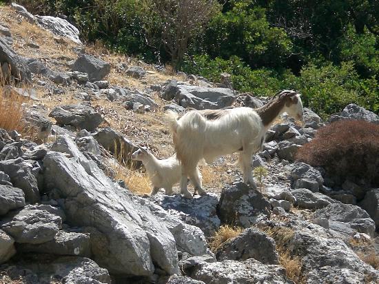 Preveli Beach: capre