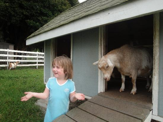 Silver Oaks Ranch : Playing with the  goats ...
