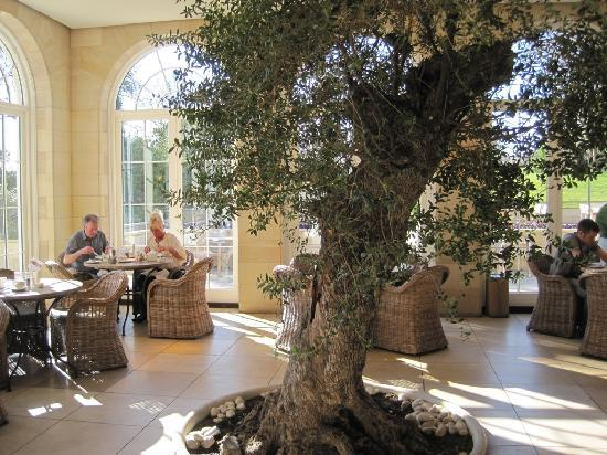 Rudding Park Hotel: 400 year old olive tree in conservatory