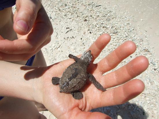 Le Chateau de Feuilles: les bébés tortues de grande soeur...