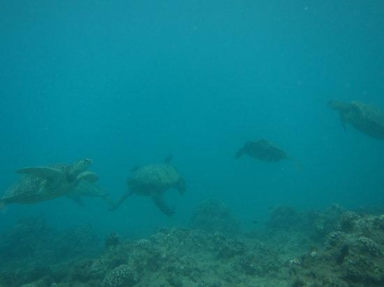 Rainbow Scuba Hawaii: green sea turtles