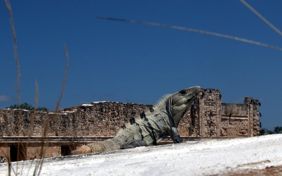 Uxmal Tapınakları: Iguana enjoying a roof top view of one of the palaces