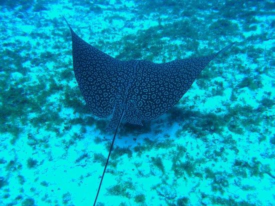 Sea Robin Cozumel: Six foot span ray!