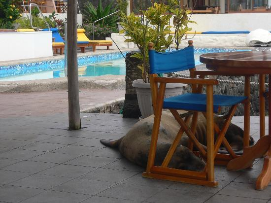 Hotel Solymar: Sea lions asleep in pool bar area