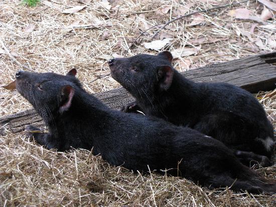 Tasmanië, Australië: Diablo de Tasmania