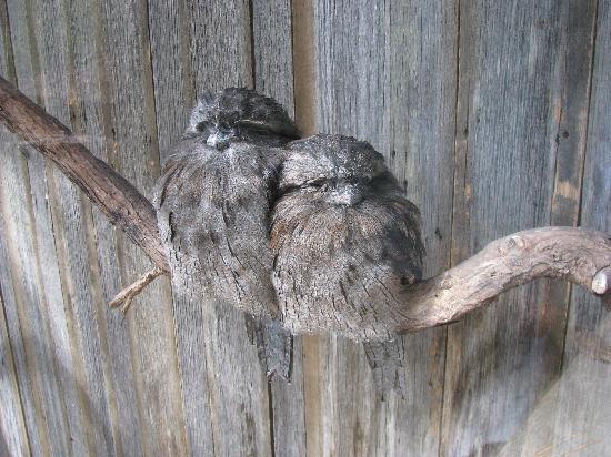 Tasmania, أستراليا: Frogmouth