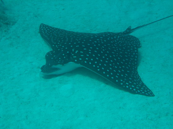 Dressel Divers Bayahibe: Large Spotted Eagle Ray Poses for Us
