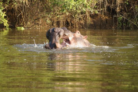 أوغندا: Hippos im Lake Mburo