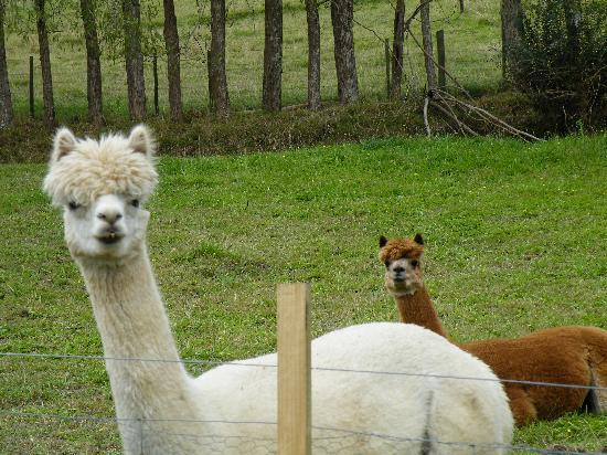 Totara Valley Barns: The Alpacas