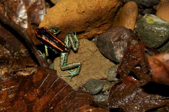 Surcos Tours: Golfo Dulce (Orange & Black) Poison Dart Frog