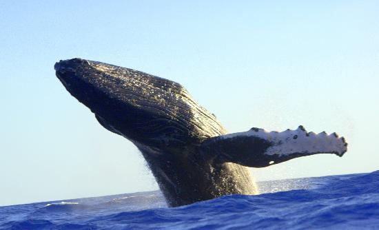 Hawaii Ocean Rafting : Humpback Whale