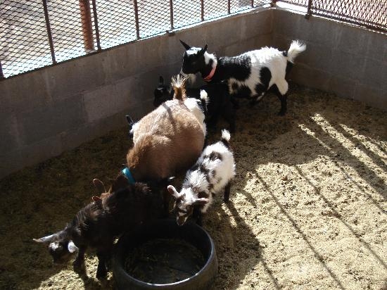 Picture Rocks Miniature Horse Ranch: Cute mommy and baby goats, very friendly!!