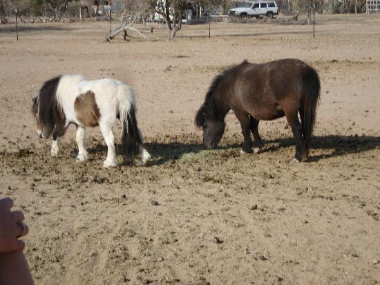 Picture Rocks Miniature Horse Ranch: Out in the pasture!